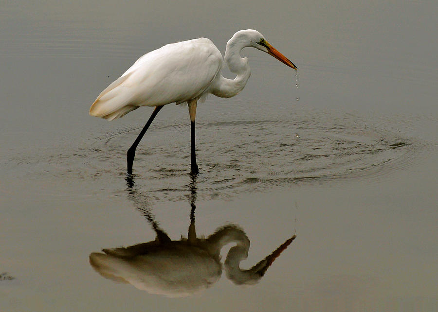 Fishing Egret With Droplets - C3282q Photograph