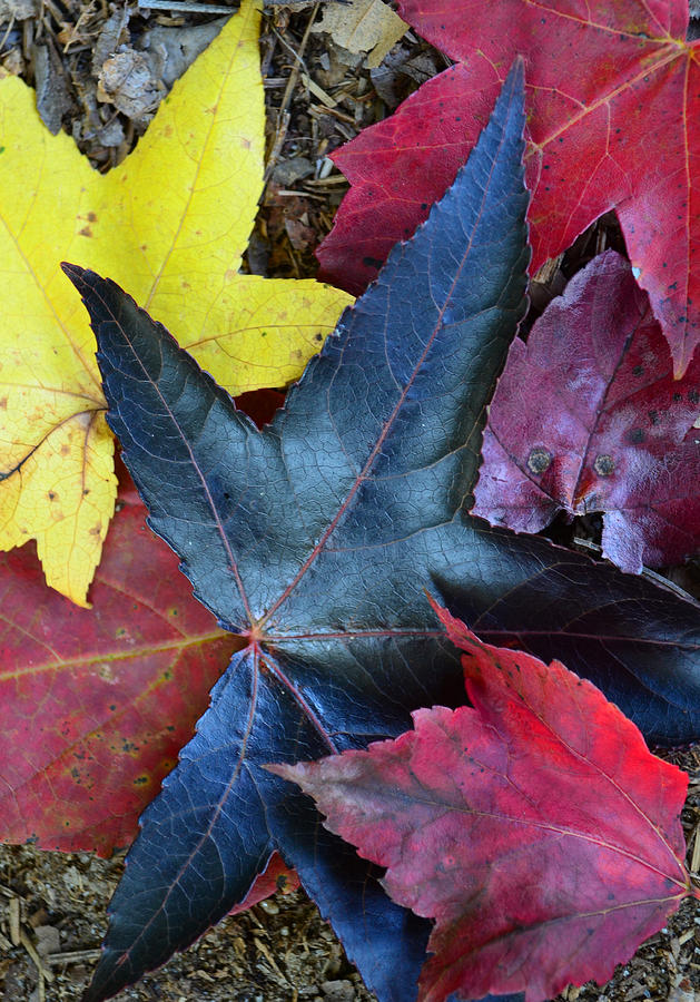 Leaves Photograph - Five Fall Leaves by Sandi OReilly