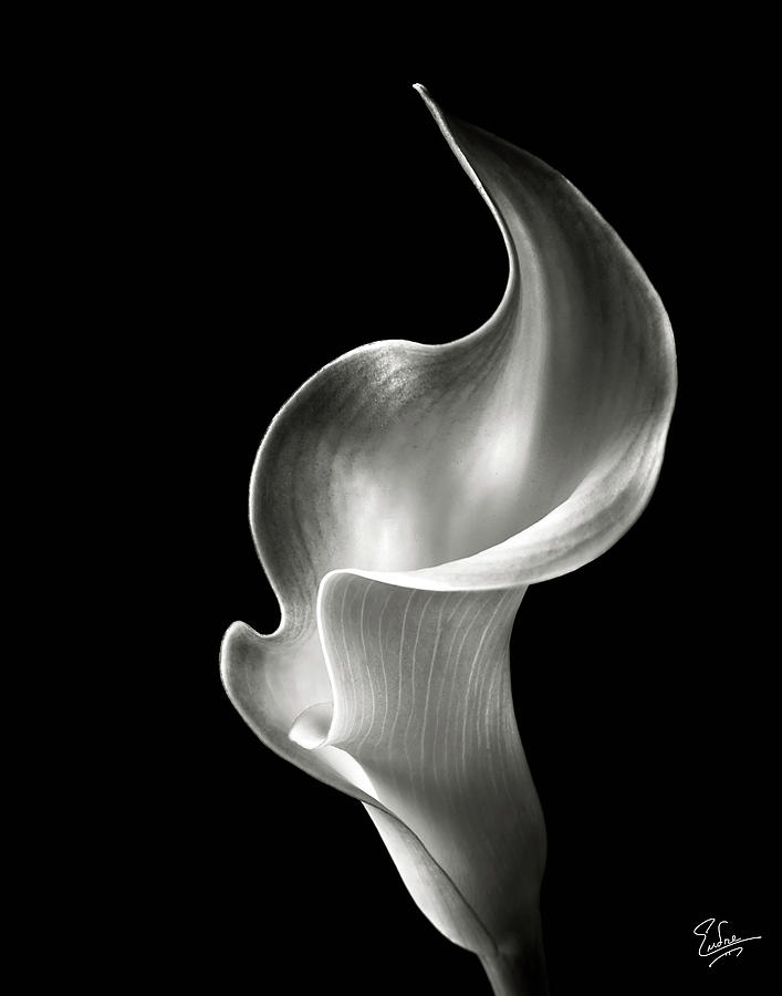 Flame Calla Lily In Black And White Photograph  - Flame Calla Lily In Black And White Fine Art Print