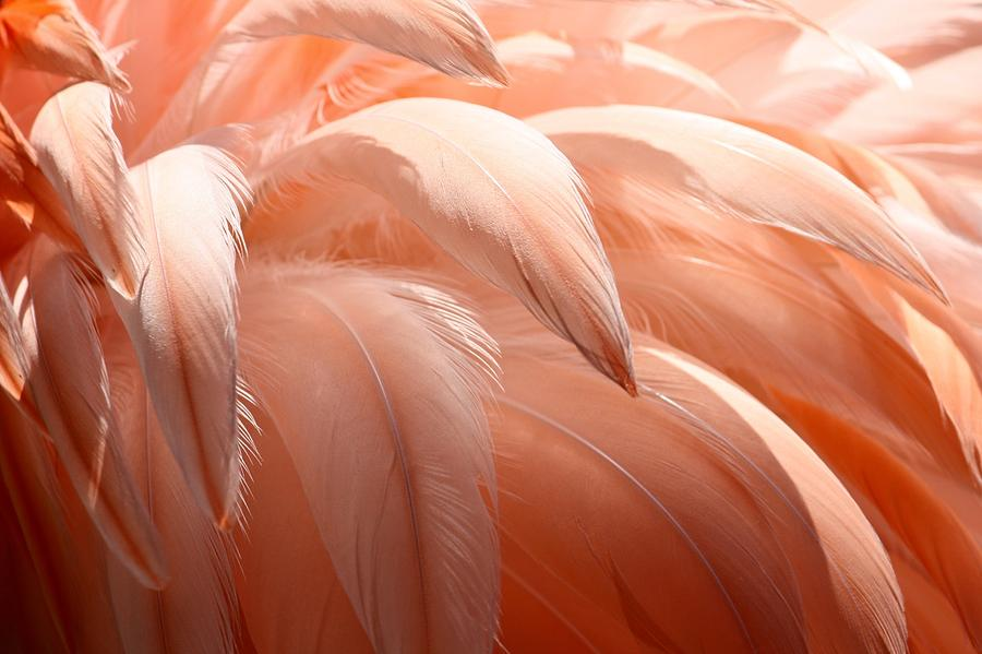 Flamingo Feathers Photograph