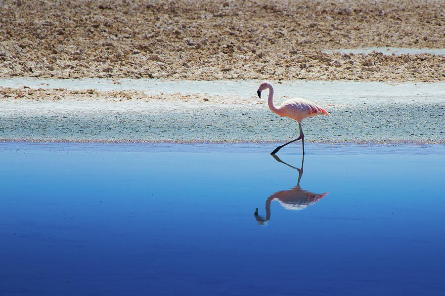 Horizontal Photograph - Flamingo by MaCnuel