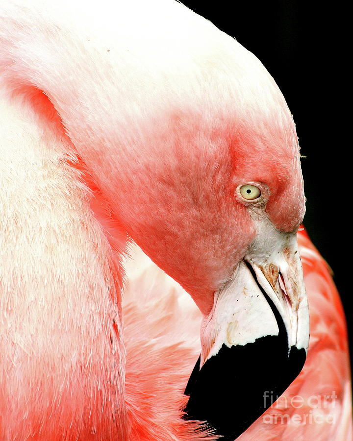 Flamingo . R7927 Photograph  - Flamingo . R7927 Fine Art Print