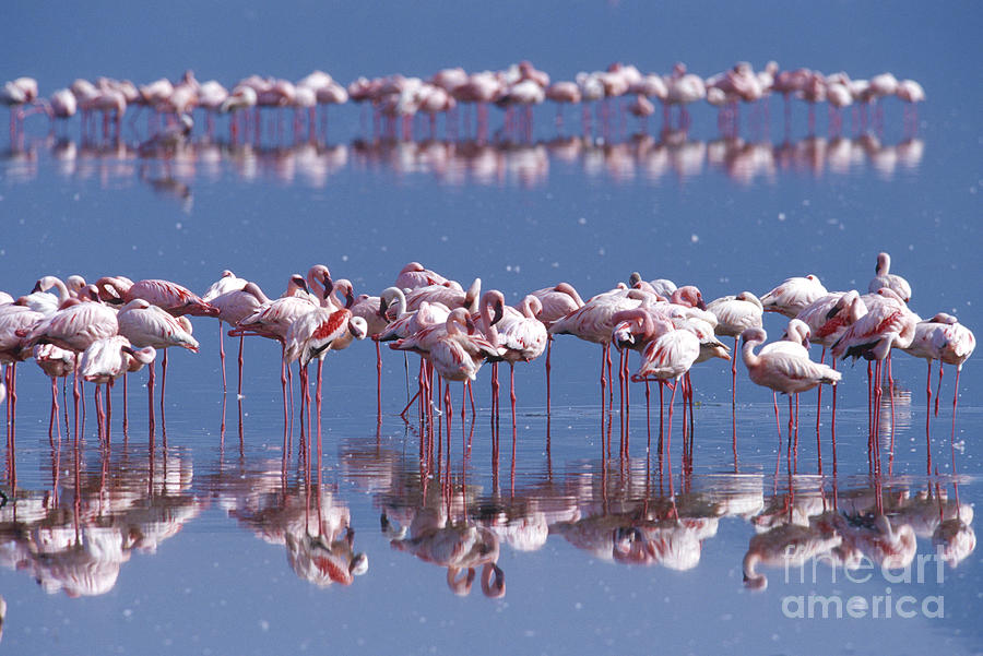 Flamingo Reflection - Lake Nakuru Photograph