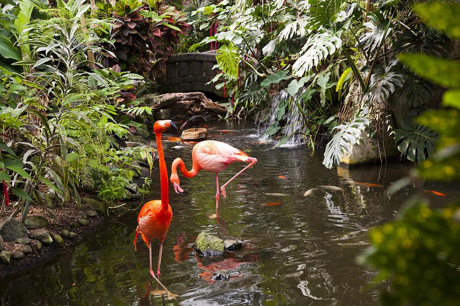 Flamingos Wades In Shallow Water Photograph