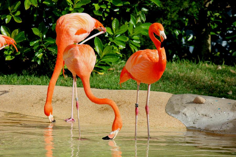 Flamingos1 Photograph