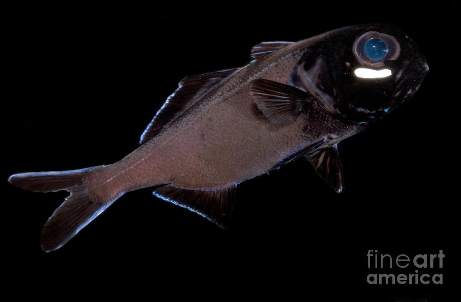 Flashlight fish sale cheltenham