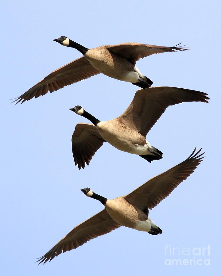 Flight Of Three Geese Photograph