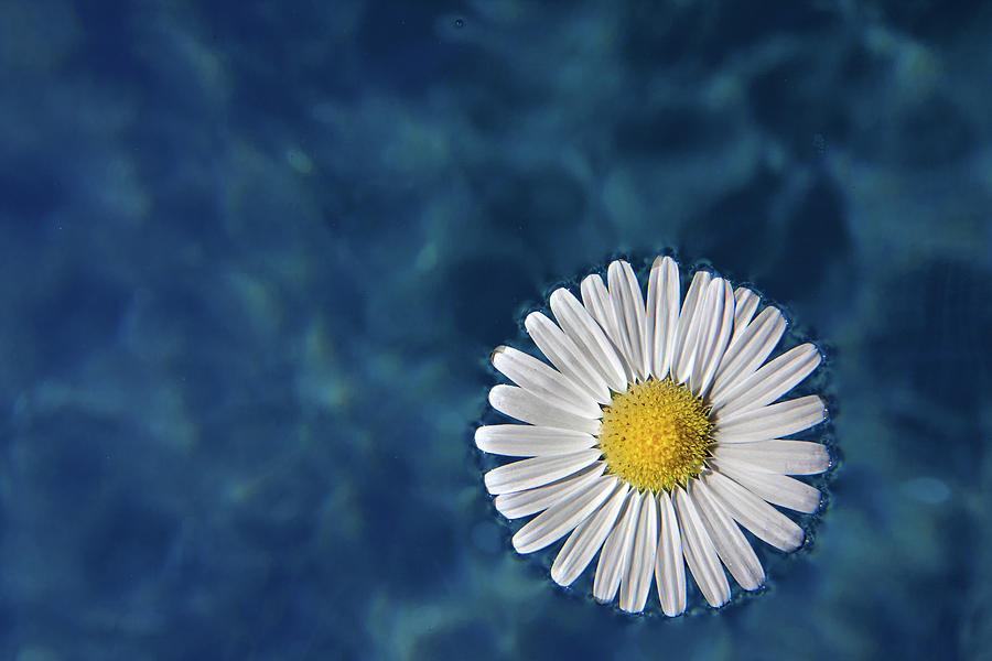 Floating Daisy Photograph