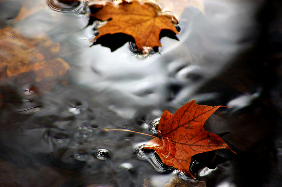 Usa Photograph - Floating Maple Leaves by LeeAnn McLaneGoetz McLaneGoetzStudioLLCcom
