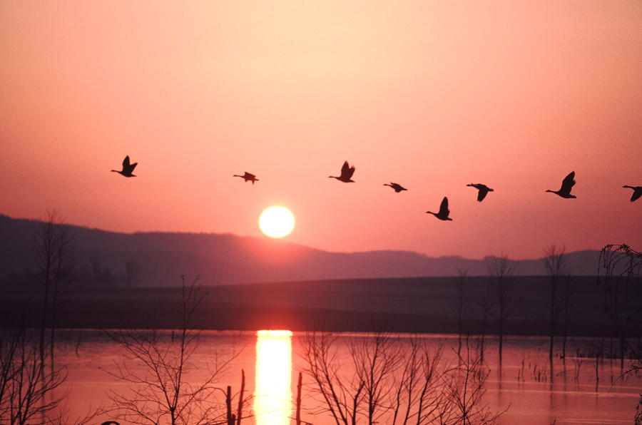 Flock Of Canada Geese Flying Photograph