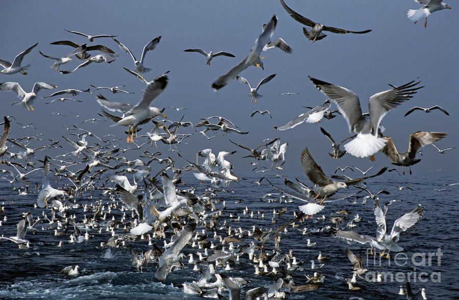 Flock Of Seagulls In The Sea And In Flight Photograph