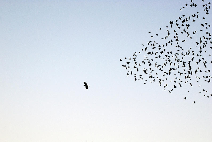Flock Of Sturnus Vulgaris Flying Photograph