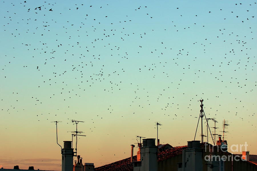 Flock Of Swallows Flying Over Rooftops At Sunset During Fall Photograph  - Flock Of Swallows Flying Over Rooftops At Sunset During Fall Fine Art Print
