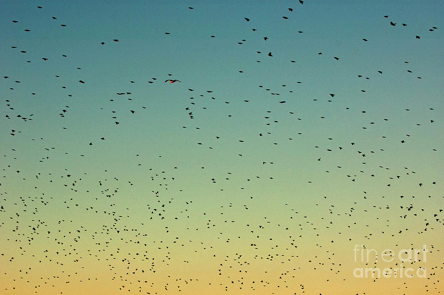 Flock Of Swallows Flying Together At Sunset Photograph