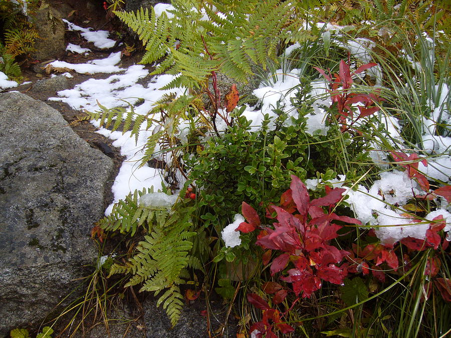 Flora And Snow Photograph  - Flora And Snow Fine Art Print