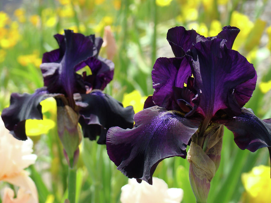 Floral Art Deep Purple Iris Flowers Irises Baslee Troutman Photograph  - Floral Art Deep Purple Iris Flowers Irises Baslee Troutman Fine Art Print