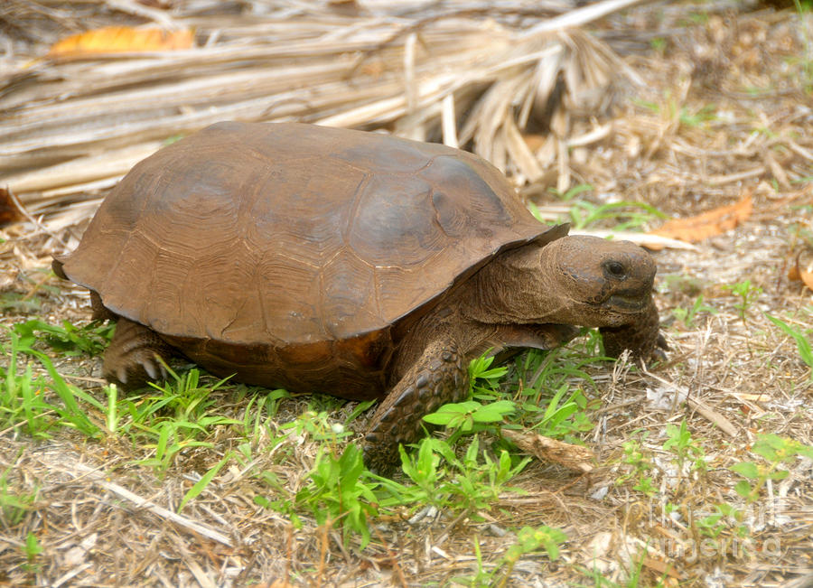 Florida Gopher Tortoise Photograph  - Florida Gopher Tortoise Fine Art Print