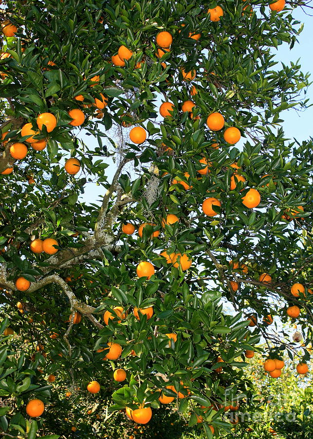 Orange Photograph - Florida Oranges by Carol Groenen
