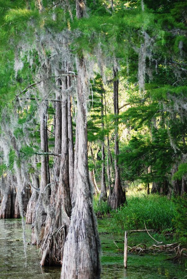 Florida Swamps Photograph