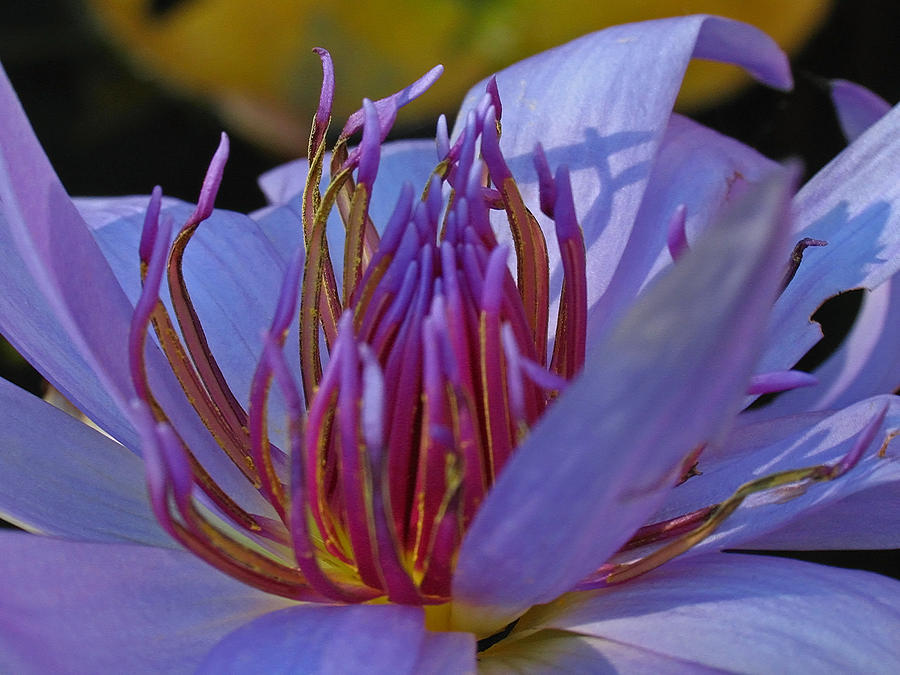 Florida Water Lily Photograph