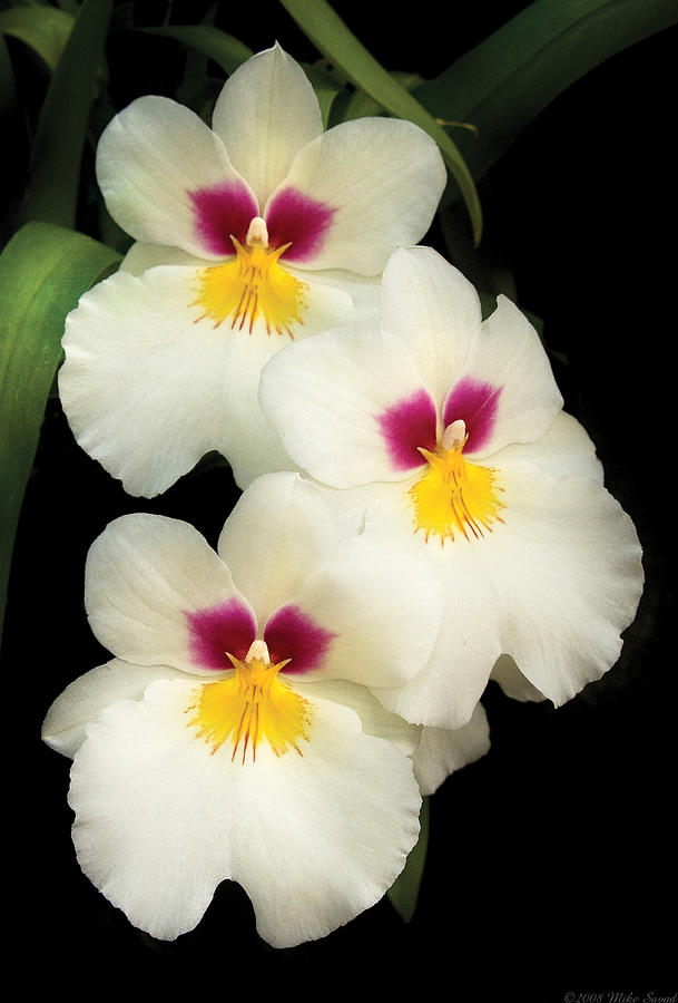 Flower - Orchid - The Three Amigos  Photograph  - Flower - Orchid - The Three Amigos  Fine Art Print