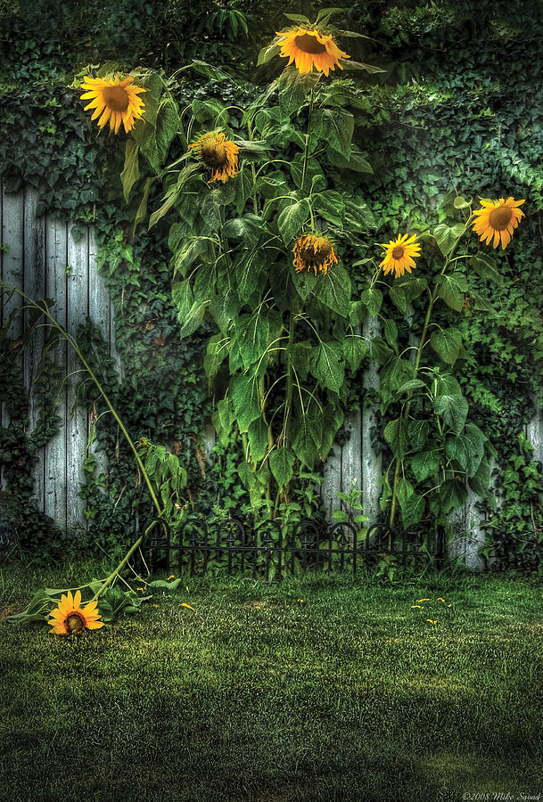 Flower - Sunflowers - Somebody Help Him  Photograph  - Flower - Sunflowers - Somebody Help Him  Fine Art Print