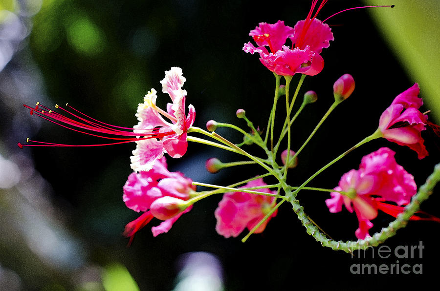 Flower Digital Painting Digital Art  - Flower Digital Painting Fine Art Print