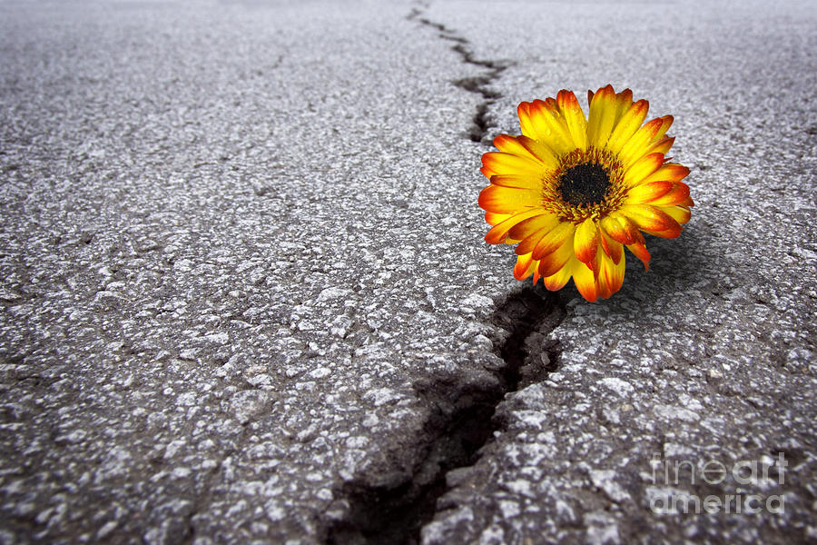 Flower In Asphalt Photograph