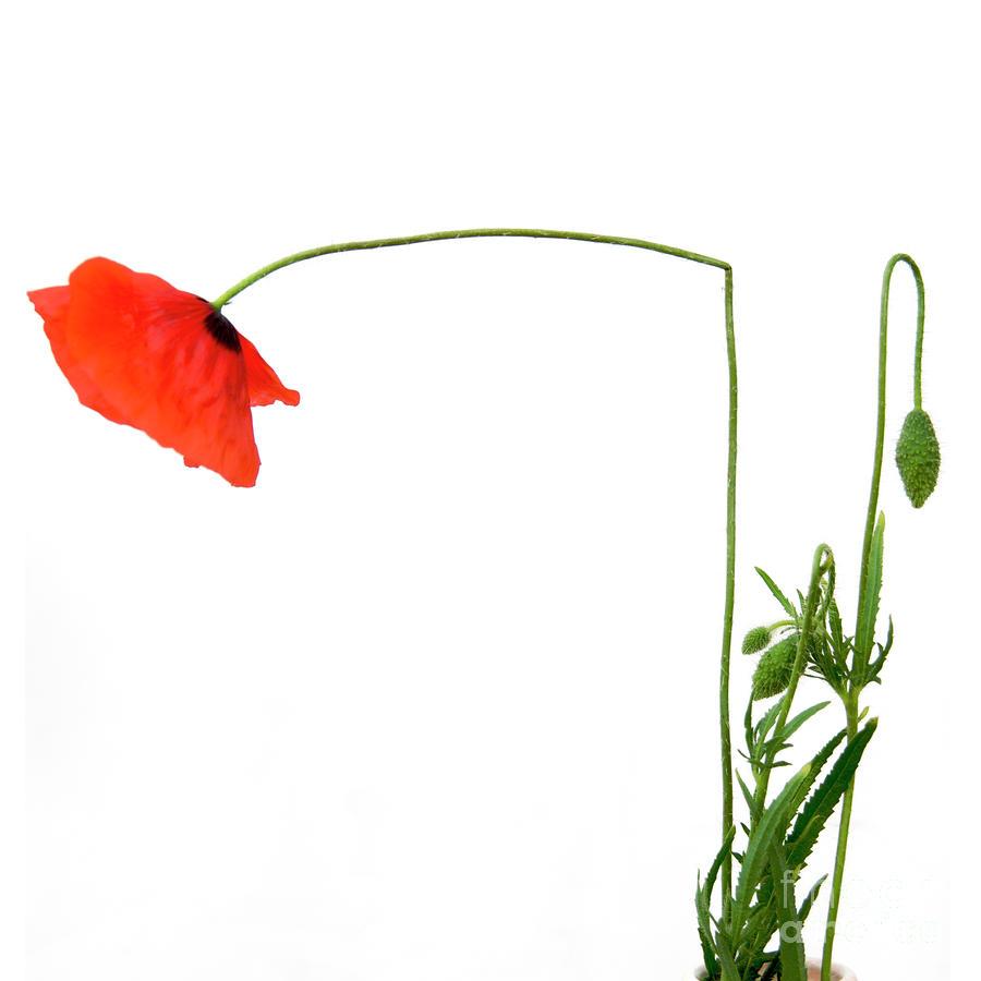 Flower Poppy In Studio. Papaver Rhoeas. Photograph