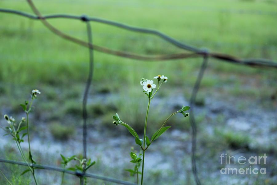 Flower Through The Fence Line Photograph  - Flower Through The Fence Line Fine Art Print