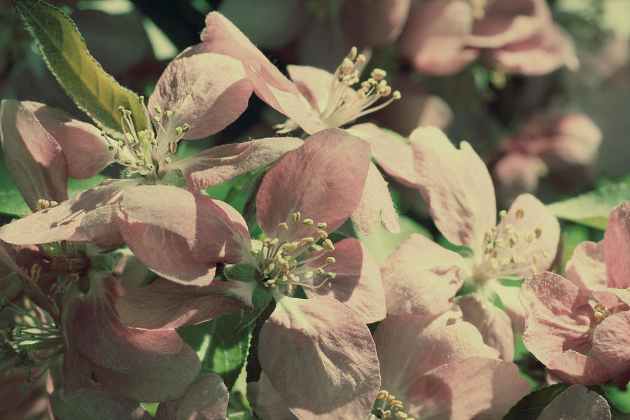 Flowering Crabapple Muted Photograph  - Flowering Crabapple Muted Fine Art Print