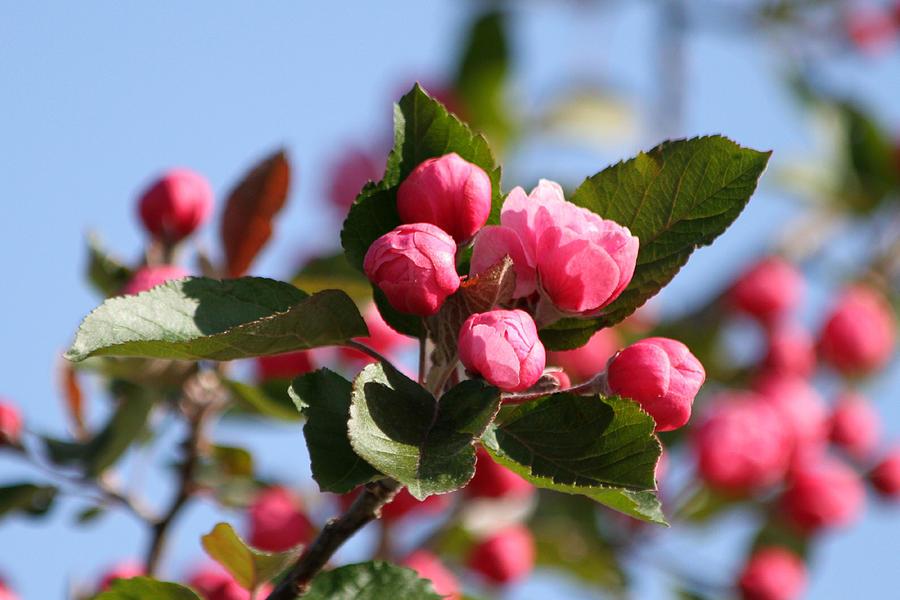 Flowering Crabtree Photograph