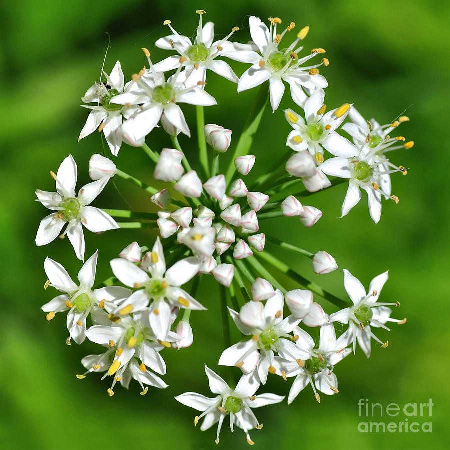 Flowering Garlic Chives Photograph  - Flowering Garlic Chives Fine Art Print
