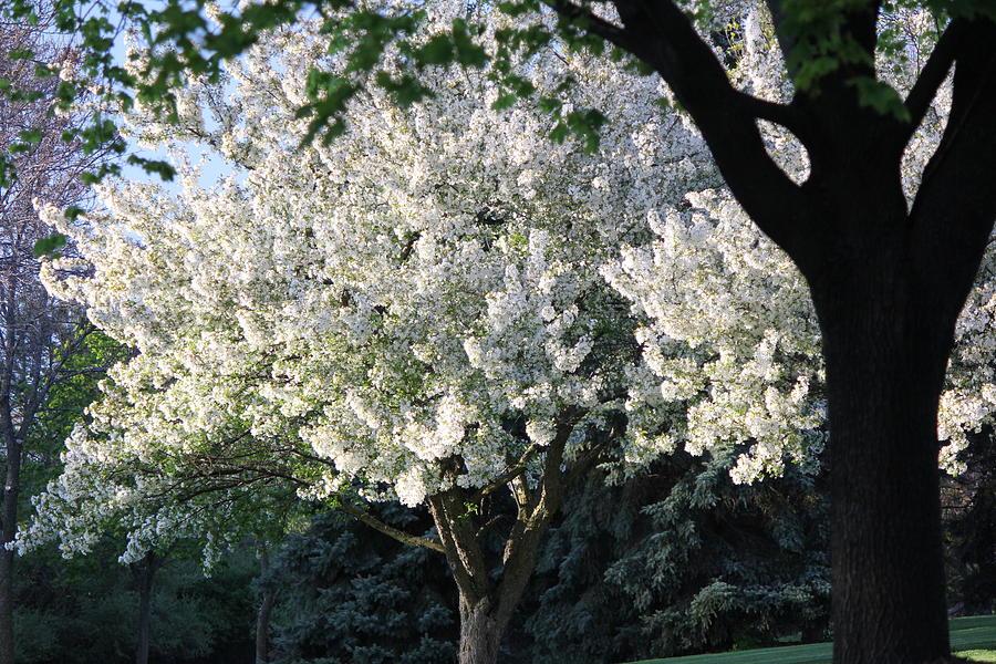 Spring Photograph - Flowering Springtime Tree by James Hammen