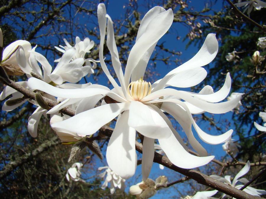 magnolia flower tree  klejonka, Natural flower