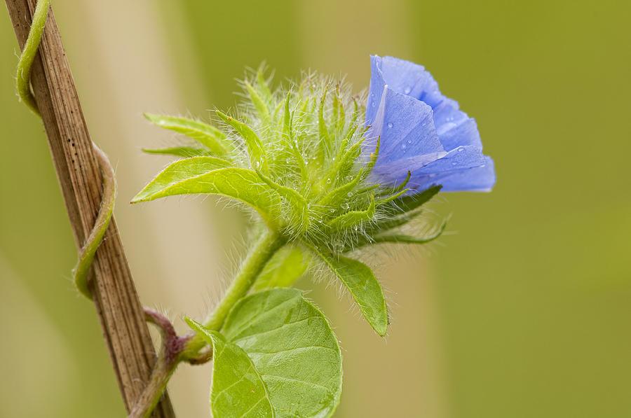 Flowering Wild Vine Photograph - Flowering Wild Vine by Bonnie Barry