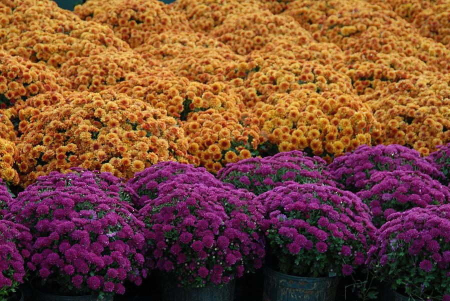Chrysanthemums  Flowers Photograph - Flowers 280 by Joyce StJames