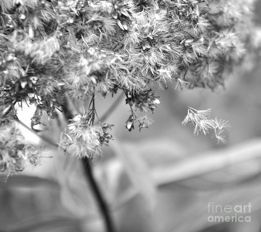 Black And White Photograph - Fluffy  2 by Tanya  Searcy