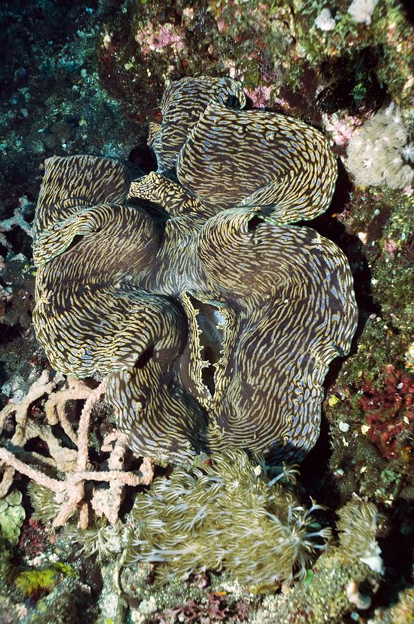 Fluted Giant Clam Photograph - Fluted Giant Clam by Georgette Douwma