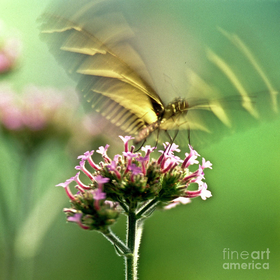 Fluttering Butterfly Photograph