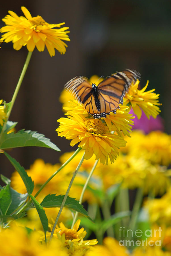 Fluttering Monarch Butterfly Photograph