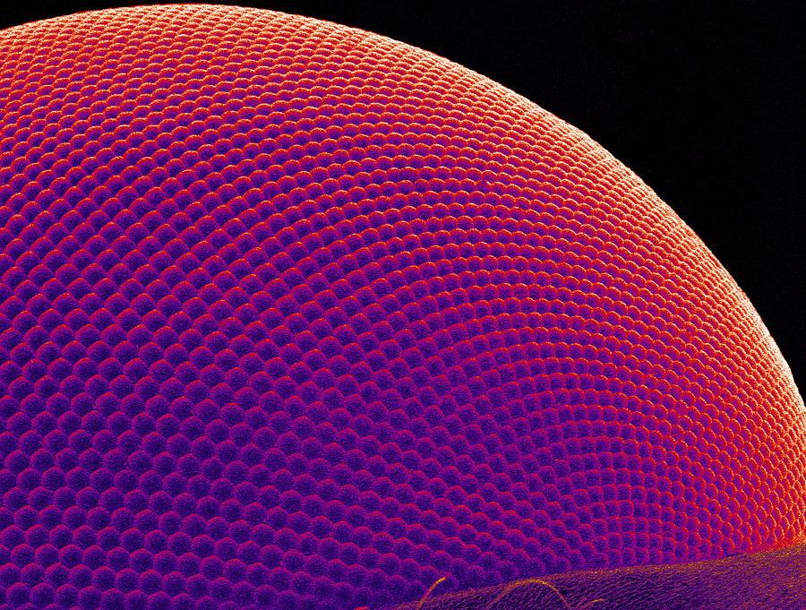 Fly Compound Eye, Sem Photograph
