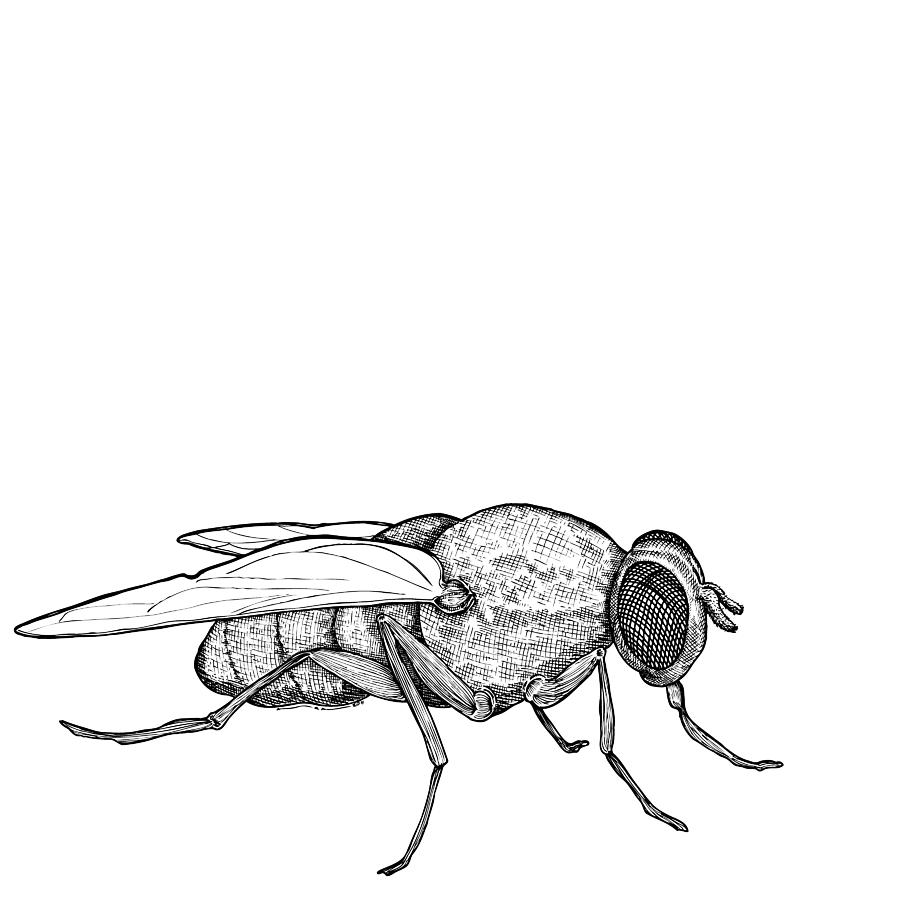 Fly Drawing  - Fly Fine Art Print