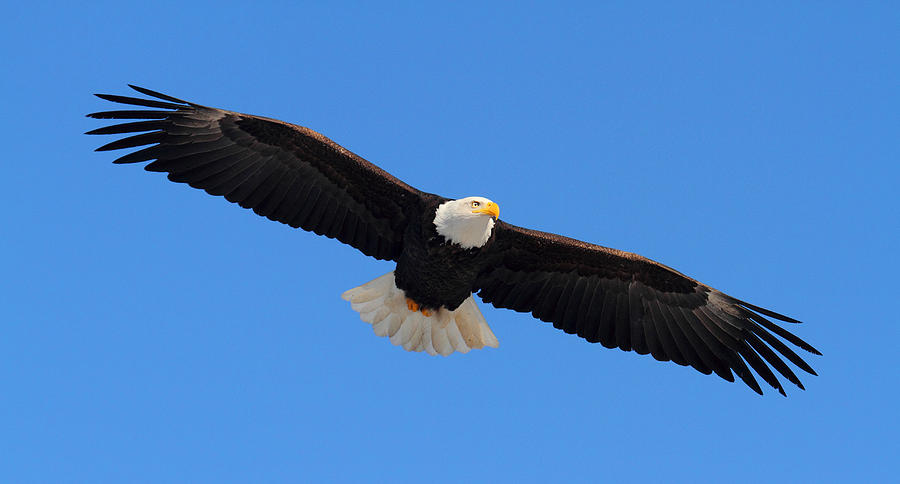 Bald eagles in flight - photo#6