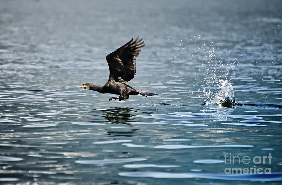 Flying Cormorant Bird Photograph