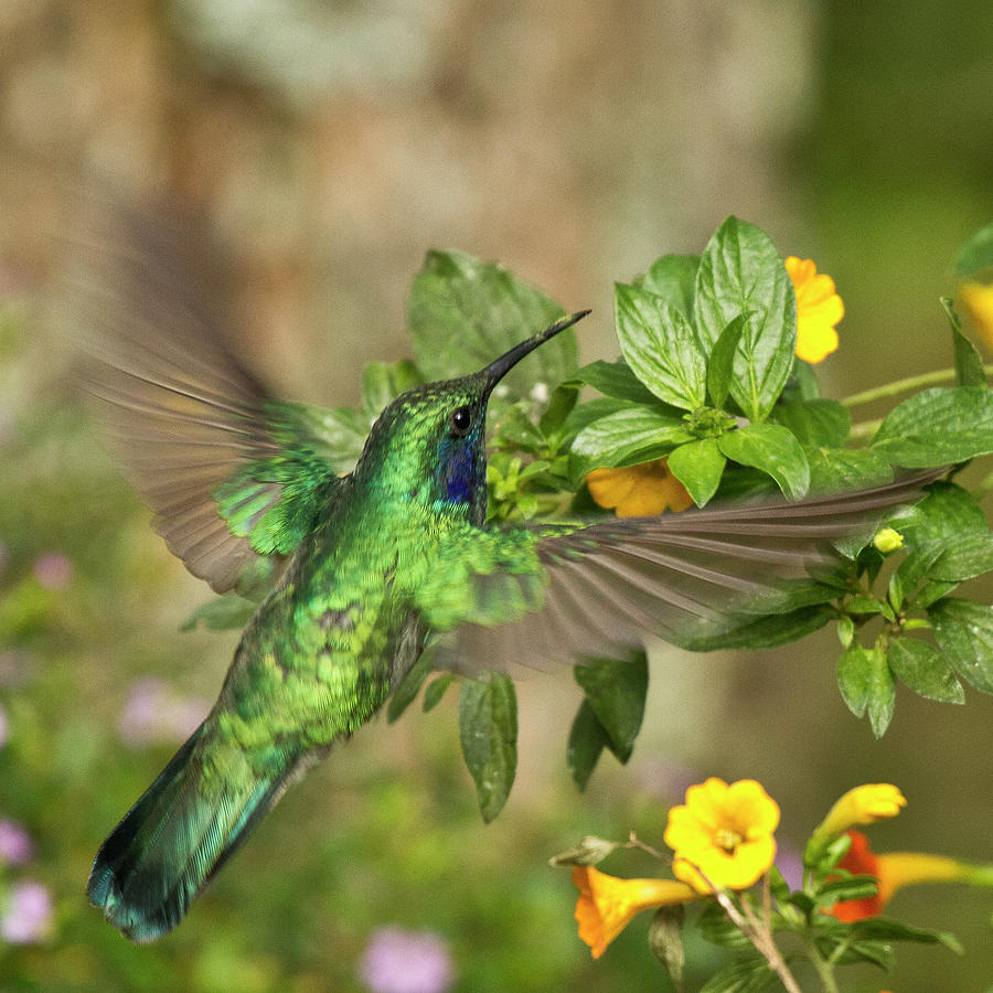Flying Green Violetear Photograph  - Flying Green Violetear Fine Art Print