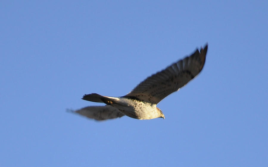 Flying Hawk II Photograph