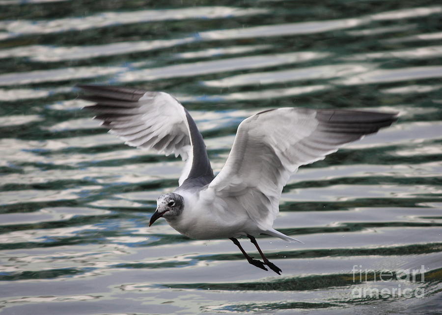 Flying Seagull Photograph  - Flying Seagull Fine Art Print