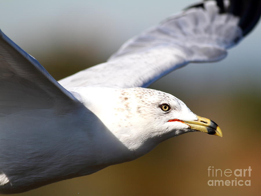 Bird Photograph - Flying Seagull Closeup by Wingsdomain Art and Photography