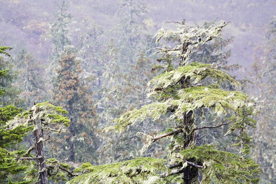 Foggy Tongass Rain Forest Photograph